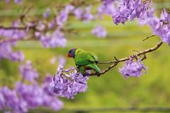 Lorikeet (MIP102) Tags: mip camellia photography photographer photo nature birds lorikeet jacaranda lovenature beautiful green purple skywalker sydney