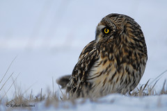 Short-eared Owl (sunnyf16) Tags: shortearedowl raptor birdofprey winter migration prairie grassland night hunt robertvisconti sunnyf16 followmeontwittercloserlookwldlf nikon nikonprime naturephotography nature northamerica