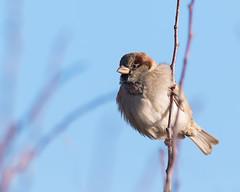 House Sparrow (Passer montanus) (microwyred) Tags: housesparrow birds wildlife