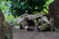 Long eared owl (David Nunn) Tags: bird long hawk andover owl trust longearedowl conservancy eared asio otus asiootus hawkconservancytrust