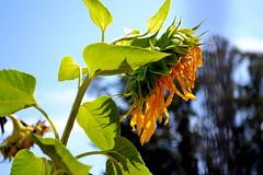 Sunflowers (brinksphotos) Tags: