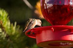 Hummingbird takes a drink