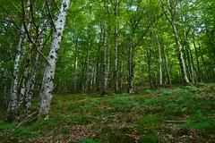 Forest (Leela Channer) Tags: wood trees white france green nature forest woodland landscape moss woods scenery pale hazel chestnut birch trunks beech chesnut aveyron leaflitter