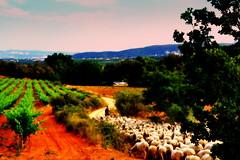 Vinyes i ramat d'ovelles, Alt Peneds. (Angela Llop) Tags: landscape spain sheep wine catalonia vineyards penedes