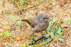 Rougequeue noir femelle (Phoenicurus ochruros) (yann.dimauro) Tags: france lyon fr oiseau rhone rhnealpes givors rougequeue rougequeuenoir