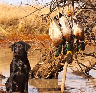 Kansas Luxury Pheasant Hunt 19
