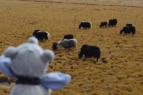 Ringo viewing yaks in the fields