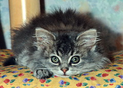 00351 (d_fust) Tags: cat kitten gato katze  macska gatto fust kedi  anak katt gatito kissa ktzchen gattino kucing   katje     yavrusu   skorpi
