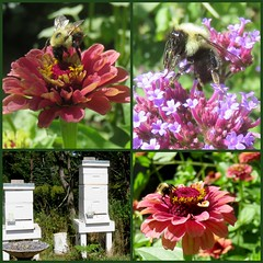 Pollinators at work and at home (yooperann) Tags: flowers food tour michigan farm bees bee upper honey coop agriculture bumble peninsula marquette hives