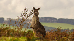 G'day Mates! (jasonroweart) Tags: red brown jason nature field animal landscape pentax outdoor ngc australian australia victoria kangaroo 100 comments roo rowe 100comments k5iis jasonroweart