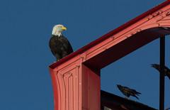 Annoying crows (michael_hamburg69) Tags: seattle usa washington eagle adler baldeagle wa crow rook haliaeetusleucocephalus corby krähe krähen corbie seeadler weiskopfseeadler