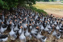 At a goose foie gras farm (jmarnaud) Tags: summer people france farm lot goose gras foie 2015 terrou francelotfamilysummer2015