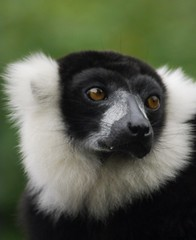 Lemur (xcv) Tags: lemur