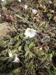 Alpen-Hornkraut (Cerastium alpinum) - Laugavegur - Trekking auf Island