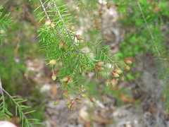 Dillwynia retorta 16 (barryaceae) Tags: park new plants wales bay south australia national heath species crowdy heathplants australianheathplants aushp