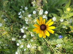 Black-Eyed Susan (Brandon Blahnik) Tags: white me garden susan sweet chinese tall forget alyssum blackeyed not