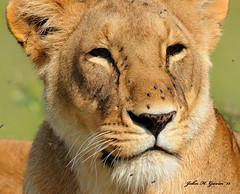JHG_9108-b Lioness, Masai Mara, Kenya. (GavinKenya) Tags: africa wild nature animal june john mammal photography gavin photographer kenya african wildlife july grand safari dk naturephotography kenyasafari africansafari 2015 safaris africanwildlife africasafari johngavin wildlifephotography kenyaafrica kenyawildlife dkgrandsafaris africa2015 safari2015 johnhgavin