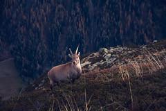 Etagne des Alpes (FlorianHamoline) Tags: wild mountain france animal animals montagne alpes savoie mont blanc haute montagnes chèvre dahu bouquetin cornes françaises étagnes