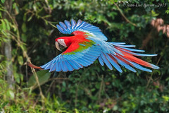 Red-and-green Macaw (Ara chloropterus) (Jeluba) Tags: bird peru nature horizontal canon inflight wildlife aves ornithology birdwatching oiseau prou 2015 redandgreenmacaw neotropical arachloropterus grnflgelara arachloroptre