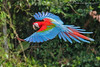 Red-and-green Macaw (Ara chloropterus) (Jeluba) Tags: bird peru nature horizontal canon inflight wildlife aves ornithology birdwatching oiseau pérou 2015 redandgreenmacaw neotropical arachloropterus grünflügelara arachloroptère