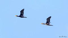 Grand Cormoran (Phalacrocorax carbo) (yann.dimauro) Tags: france fr oiseau rhone gier rhnealpes givors ornithologie