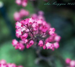 flower105 (aburayyan) Tags: flowers plants macro nature leaves closeup garden bay nikon df colorful seeds greenery bud nikkor fx dx d600