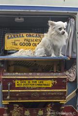 cane, dog (paolo.gislimberti) Tags: london streetphotography portobello domesticanimals mammals londra touristdestinations mammiferi animalidomestici fotografiadistrada capitaltowns meteturistiche cittcapitali