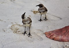 My what big feet you have (sussexscorpio) Tags: bird mockingbird galapagos island sand beach foot toes espanola hood archipelago outdoor seashore sea equator ecuador pacific ocean pacificocean feathers wings beak nearsouthamerica
