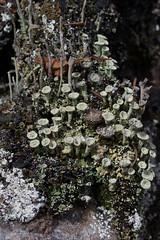 Cladonia lichen (nervous system) Tags: banff canada cladonia lakelouise lichen plainofsixglaciers improvementdistrictno9 alberta ca
