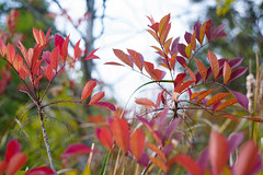 Vibrant (John Bradtke) Tags: sumac michigan puremichigan plants fall nature outdoors swamp color contrast vibrance saturation red green trees poisonsumac autumn leaves leaf