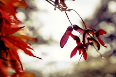 Seeds of Autumn (nigelboulton72) Tags: seeds red autumn leaves acer fall