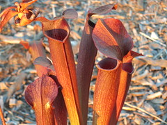 S. rubra wherryi Chatom Giant Washington Co, AL (meizzwang) Tags: sarraceniarubrawherryichatomgiantwashingtonco al sweet trumpet pitcher plant carnivorous insect eating