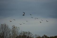 IMG_6867_1 (abracapocus_pocuscadabra) Tags: birds nature water marsh midwest outdoor sandhillcranes