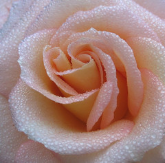 Softness (karvainen kana) Tags: rose peach peachrose macro droplets detail water waterdroplets pretty soft softness love romantic delicate rain drop dew mist drizzle nature flower peachflower pink lightpink wow