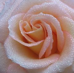 Softness (karvainen kana) Tags: rose peach peachrose macro droplets detail water waterdroplets pretty soft softness love romantic delicate rain drop dew mist drizzle nature flower peachflower pink lightpink wow