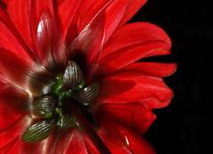 Dahlia Peony 'Bishop of Llandaff' (1selecta) Tags: dahlia bishopofllandaff peony red black green white stem pettle ruleofthirds flowered back rear dark organic