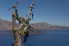 19478-fruticose lichen on dead tree at crater lake (oliver.dodd) Tags: craterlake oregon moss lichen wood deadwood fruticoselichen