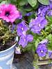P1060268 (flaviaviland) Tags: lilas lille purple purpura blomster fleur flores vase potte vaso antique englishgarden rustikk rustic rain