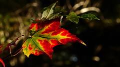 Autumn in the Mustila arboretum (Elimki, Kouvola, 20161002) (RainoL) Tags: 2016 201601002 201610 acer arboretum autumn elimki fin finland foliage fz200 geo:lat=6073039445 geo:lon=2641180300 geotagged kouvola kymenlaakso leaf maple mustila mustilaarboretum october plants sapindaceae tree