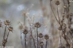 Entre Puas (anluca1) Tags: fotografa angelcanales tamron70200 canoneos7d naturaleza vegetacin valladolid plantas pinchos otoo