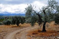 Campo de olivos (Toledo) (M Roa) Tags: nikonflickraward