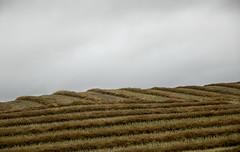 Farm fields along highway #11, Prince Albert to Saskatoon (Jim 03) Tags: autumn colours highways 2 11 saskatoon waskesiu 2016 jim03 jimhoffman jhoffman jim wwwjimahoffmancom wwwflickrcomphotosjhoffman2013 bales swathes