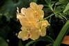 _MG_7836 (zet11) Tags: storczyki bali para młodych banan kwiat