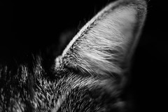 Ear (Evan's Life Through The Lens) Tags: camera sony a7s lens glass 50mm f18 fe af macro cat senses kitty fur beautiful black white bw digital exposure dark eye nose ear light contrast