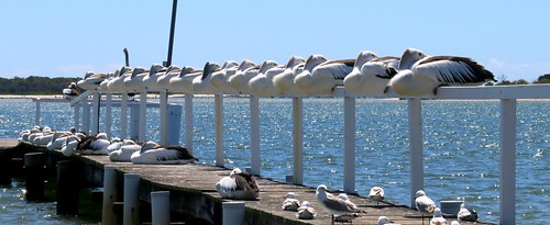 Yamba pelicans on a windy day IMG_1856