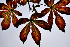 Looking up...Autumn leaves (osto) Tags: autumnleaves flickrfriday horsechestnut osto osto denmark sony alpha77ii scandinavia europa zealand a77ii ilca77m2 october2016 danmark sjlland europe