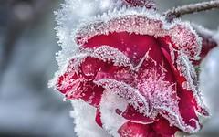 Freezed Rose... (Rainer Fritz) Tags: rose garten raureif eis natur red