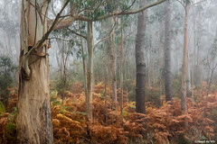A Forrest (aland67) Tags: alanddewit asturias spain tree trees autumncolors autumn ferns landscape eucalyptus