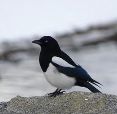 Black-billed Magpie--Pica hudsonia (Polioptila caerulea) Tags: blackbilledmagpie magpie corvid picahudsonia pica eastcove southlaketahoe eldoradocounty bbma