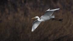 Silberreiher 026 (bertheeb) Tags: silberreiher reiher wasservogel